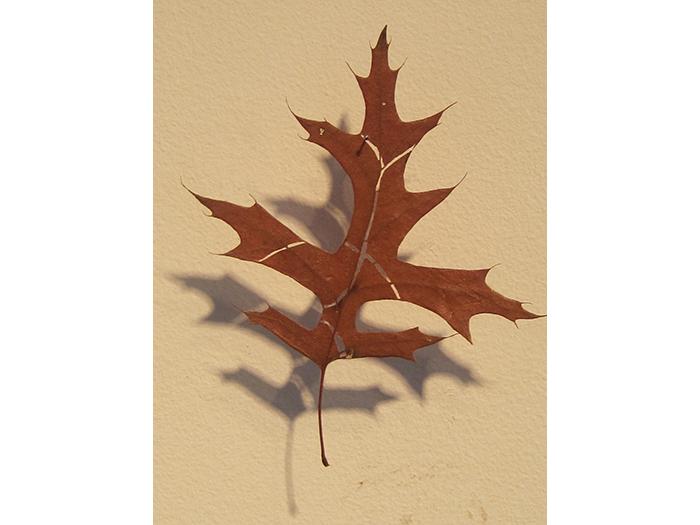 cut-oak-leaf-1